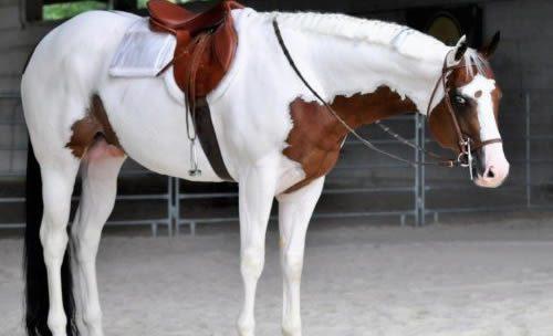 cavalli in vendita